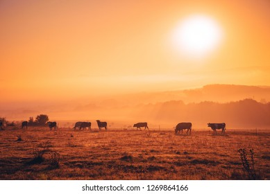 Cows on autumn morning pasture