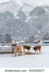 Cows on the background of winter mountains. Livestock for food. Hay and a small home farm. A calf in the village.