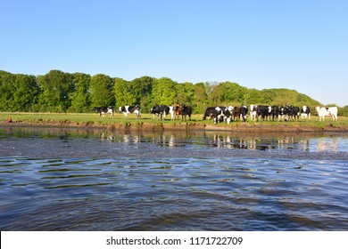 Cows on the bank