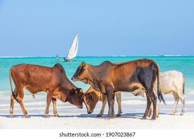 Cows on the beach of Zanzibar relaxing while a local boat sailings in the background.