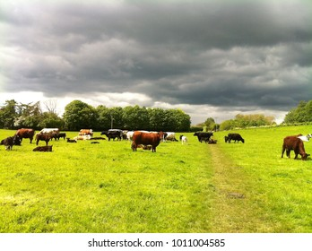 Cows on the Cotswold way