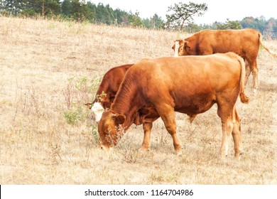 Cows on a dry meadow in the Czech Republic. Dry season. Hot summer day. Lack of food for cattle. Climate change