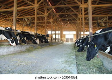 Cows on Farm