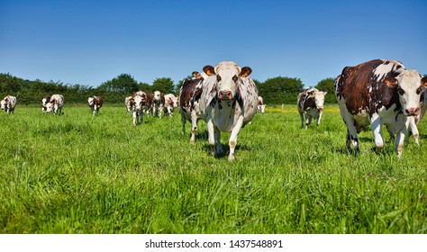 Cows on the farm during the summer
