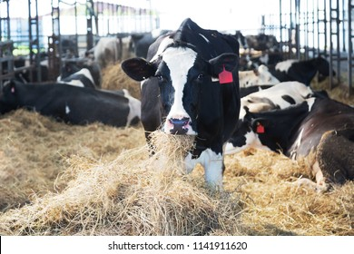 Cows on the farm eat hay