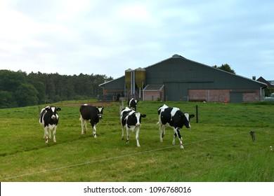 cows on farm fields, Flanders, Belgium
