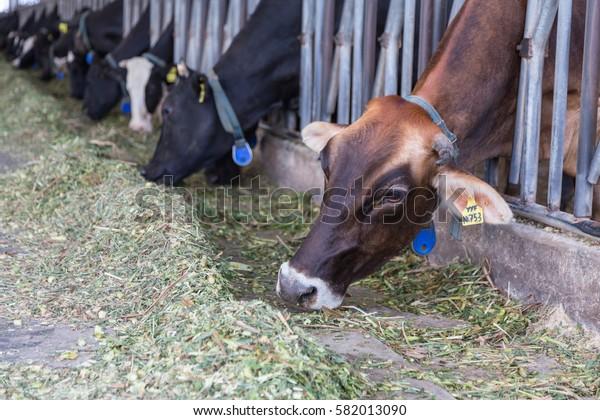 Cows on Farm , cows on a milk farm , The Cows