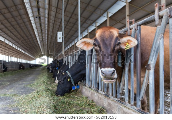 Cows on Farm , cows on a milk farm , The Cows