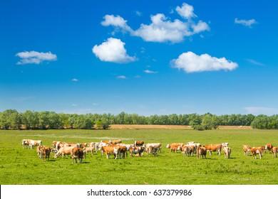 Cows on farm in nature park Lonjsko polje, Croatia