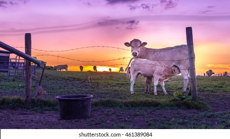 Cows on farm in the Netherlands with beautiful sunset and other cows in the background. Baby cow calf drinking milk from mother cow with purple sunset.
