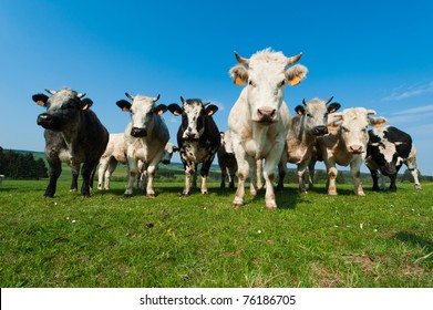 Cows on on farmland in the Ardennes, Belgium