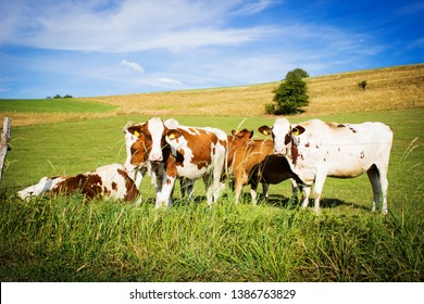 Cows on the field with blue and green background