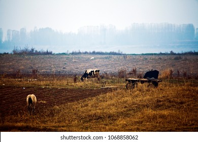 Cows on the field. Landscapes of Middle Asia (Uzbekistan)