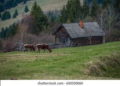 Cows on the field in the mountains