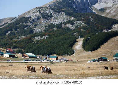 cows on the field near the moutnains in summer in Montenegro, Zhablyak