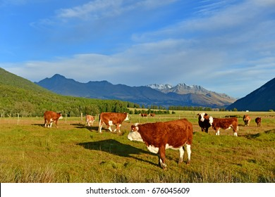 Cows on field in the south Island, New Zealand