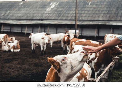 Cows on the form. Milk, meat production. Household animals.