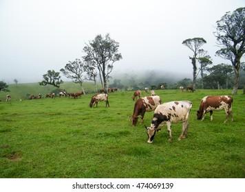 Cows on the grass field in Ambewela farm