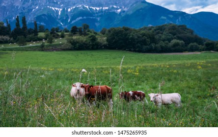 Cows on a grassy field on a bright and sunny day. Summer green field. Cows on the field with blue and green background.