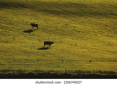 Cows on grazing