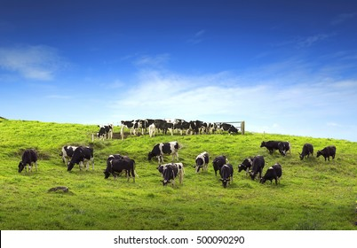 Cows on a green field with beautiful scenery