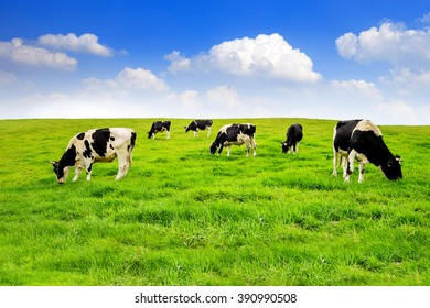 Cows on a green field and blue sky.
