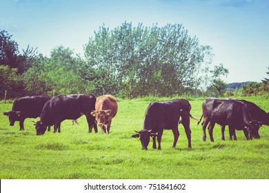 Cows on a green field. Cows on a summer pasture