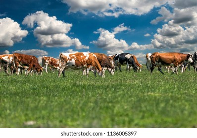 Cows On Green Grass And Blue Sky With Clouds. Rural landscape with a herd of milk cows grazing on green grassland. Herd Of Cows Grazing On Green Pasture.