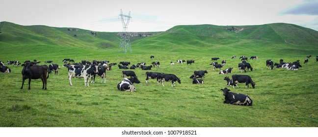 Cows on green hill at summer in South Island of New Zealand.