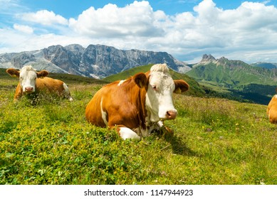 Cows on green meadow in alpine valley in Santa Maddalena village, Val di Funes, Dolomiti Mountains, Italy