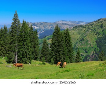Cows on a green pasture in the mountains