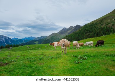 Cows on the green pastures of the Italian alps