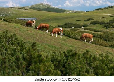 Cows on a meadow in the Austrian Alps, Mt. Schneeberg