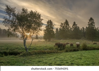 Cows on a meadow at dawn