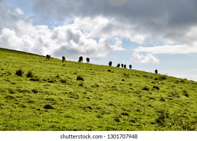 Cows on a meadow on Terceira island under the cloudy sky