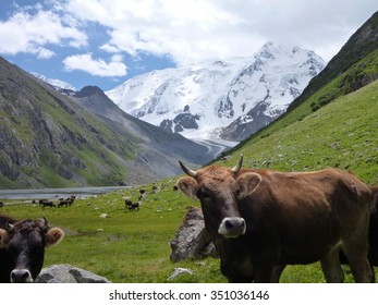 cows on the meadow in the valley  in the mountains