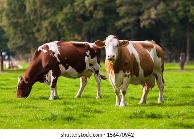 Cows on meadow.Grazing calves