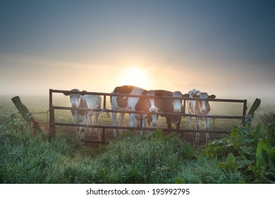 cows on misty pasture behind fence at sunrise