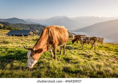 Cows on mountain pasture in the alps, Salzburg, Austria