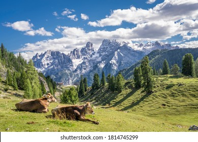 cows on the mountain pasture of Prato Piazza in the three peaks National Park in the Sexten Dolomites, south Tirol, Italy - Shutterstock ID 1814745299