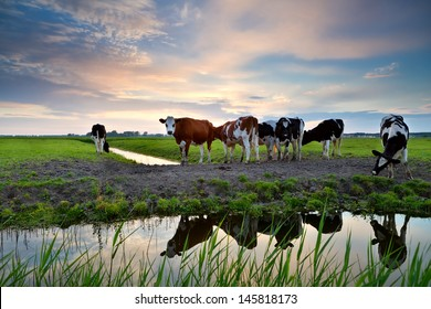 cows on pastoral by river at sunset, Groningen, Netherlands