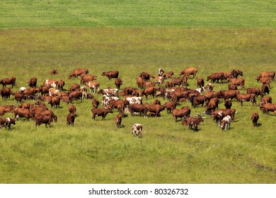 Cows on a pasture.