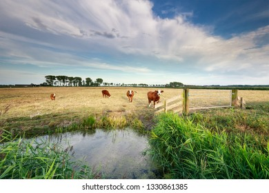 cows  on pasture by lake and blue sky in summer