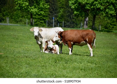 Cows on a pasture in Grainau - Germany