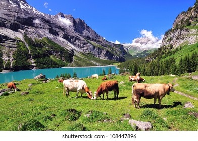 Cows on a pasture at lake Oeschinen in Switzerland