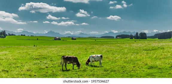 Cows on a pasture in Allgäu landscape in summer