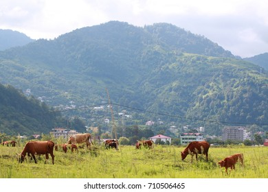 cows on a pasture in the mountains
