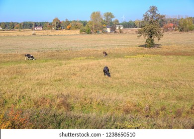 Cows on pasture in Poland