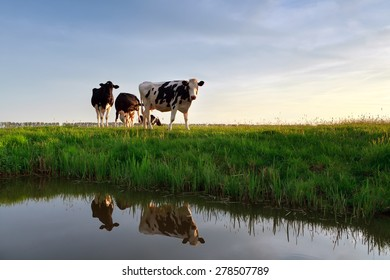 cows on pasture reflected in river at sunset