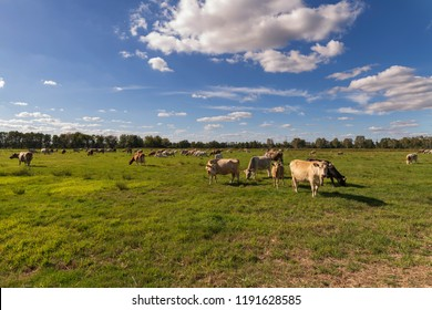 Cows on a pasture in the Spree forest